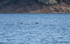 Mule Deer Swimming