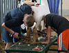 Sheep Shearing TAB11MK4-21718