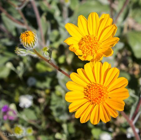 Borrego Wildflowers