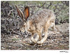 Jackrabbit_Black-tailed TAB11MK4-05321