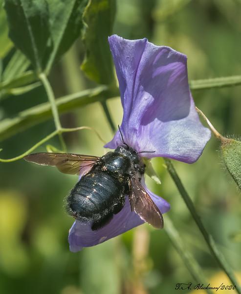 Carpender Bee
