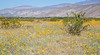 Borrego Wildflowers