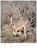 Blacktail Jackrabbit