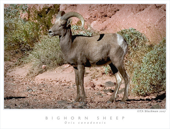 Bighorn Sheep TAB07N_01299
