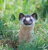 Long Tailed Weasel