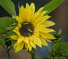 Sunflower TAB20D5-09043-Edit