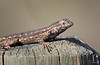 Lizard_Western Fence TAB181DXmkii-20244-Edit