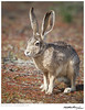Jackrabbit-Black-tailed TAB11MK4-05428