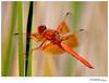 Dragonfly TAB10MK4-29815