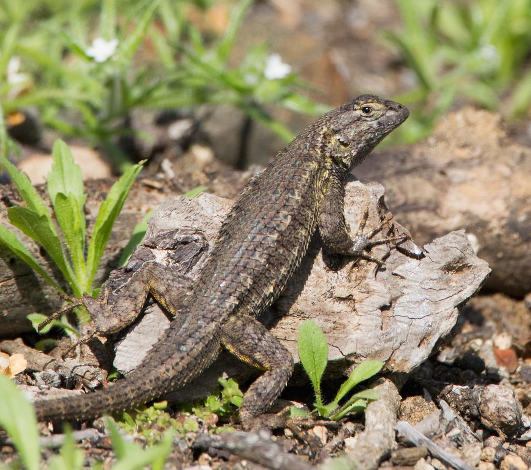 Lizard TAB10MK4-14097