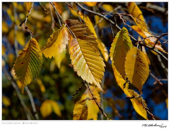 Yosemite Leaves