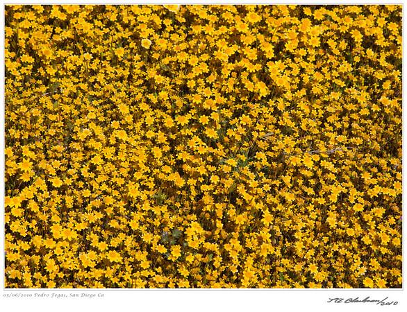 Wildflowers at Pedro Fegas