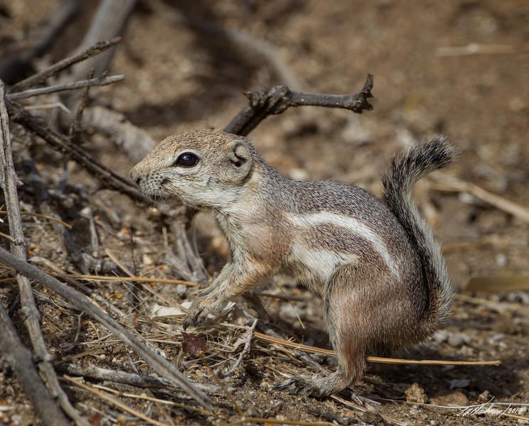 Whitetail Antelope Squirrel<br /> Ammospermophilus leucurus