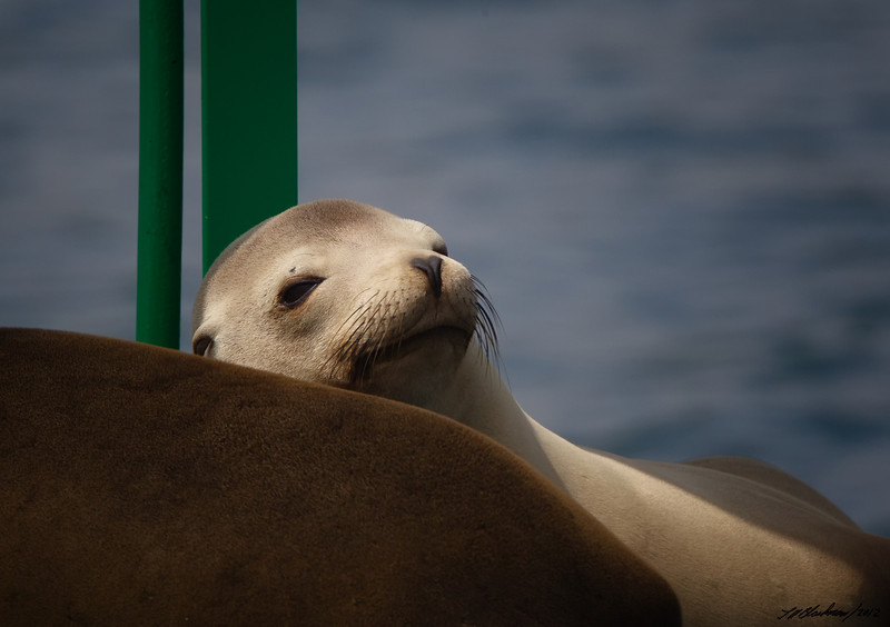 California Sea Lion<br /> Zalophus californianus