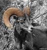 Bighorn Sheep<br /> Ovis canadensis