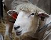 Sheep TAB11MK4-21730