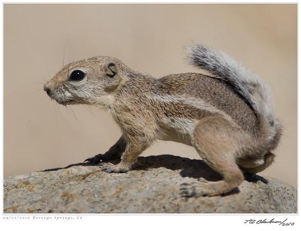 Antalope Ground Squirrel