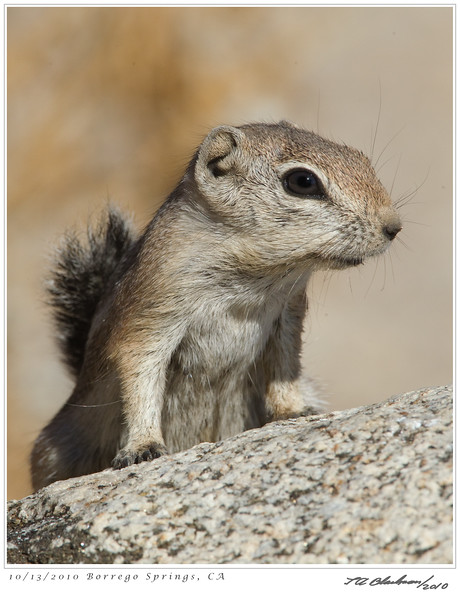Antalope Ground Squirrel