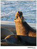 Seal_Elephant TAB11MK4-04329