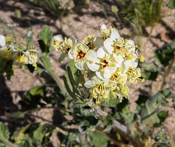 Borrego Flowers