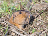 California Pocket Gopher