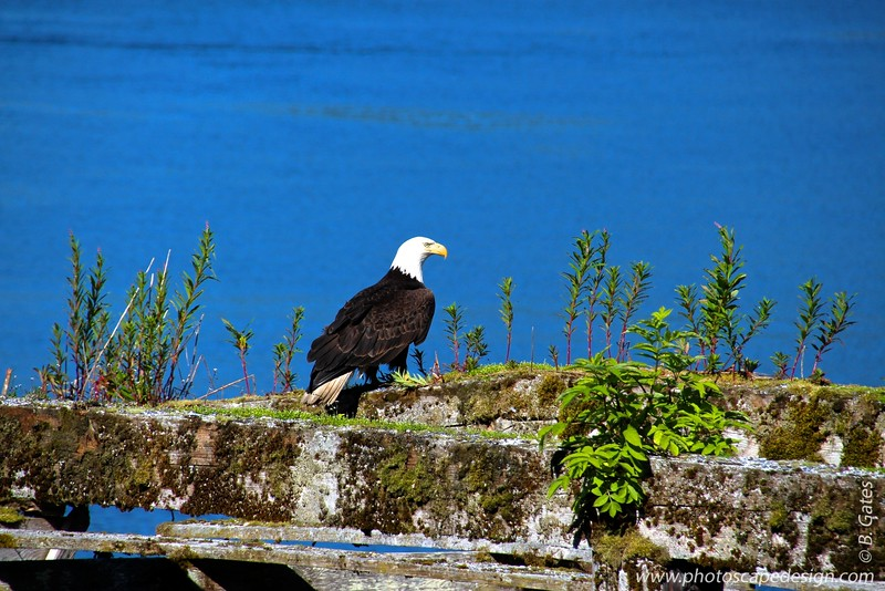 Bald Eagle - Icy Strait point, Alaska