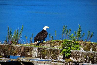 Bald Eagle - Icy Strait point, Alaska