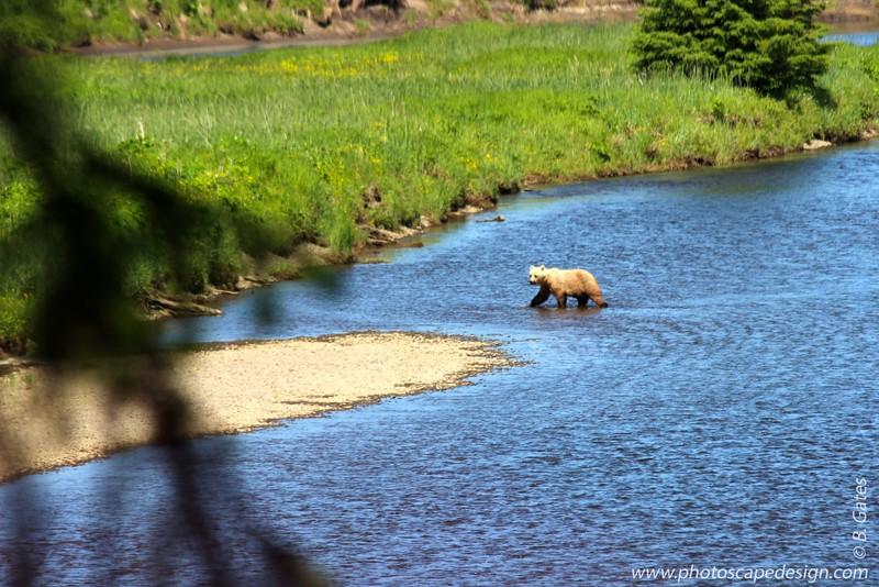 Brown Bear - Icy Strait Point, Alaska
