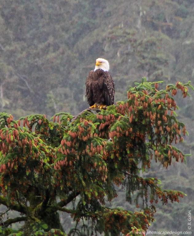 Bald Eagle - Ketchikan, Alaska