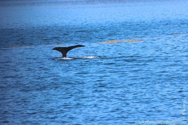 Humpback Whale - Ice Strait Point, Alaska