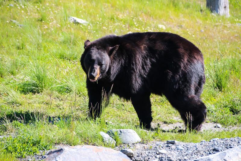 Black Bear - Seward, Alaska