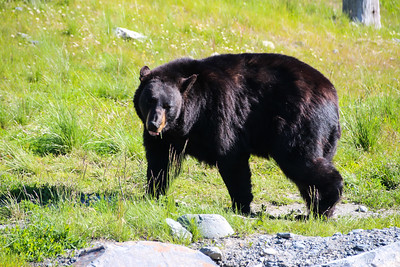 Black Bear - Seward, Alaska