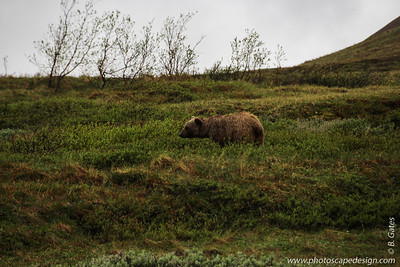 Grizzly Bear - Denali National Park, Alaska