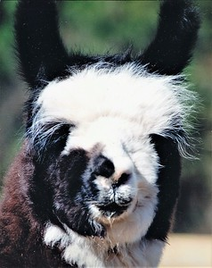 DOUBLOON, a true tuxedo stylish male llama we raised from birth