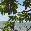 samoa beach tree