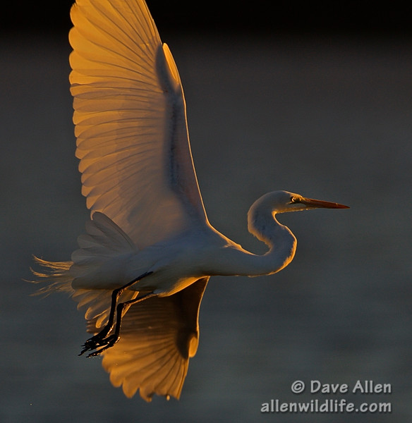 Great egret at sunset.