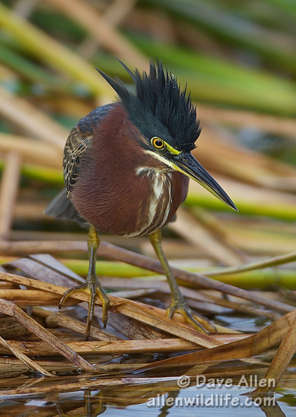 Green heron.