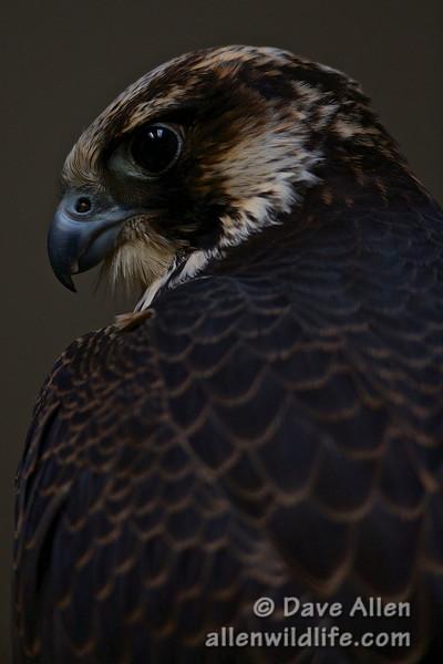tundra peregrine falcon