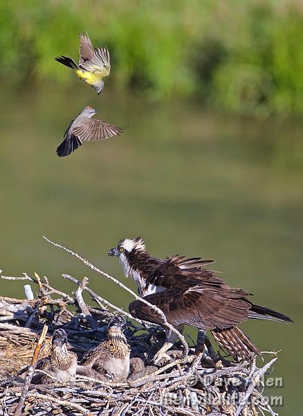 Western kingbirds harass osprey and chicks