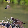 Western kingbirds harass osprey and chicks