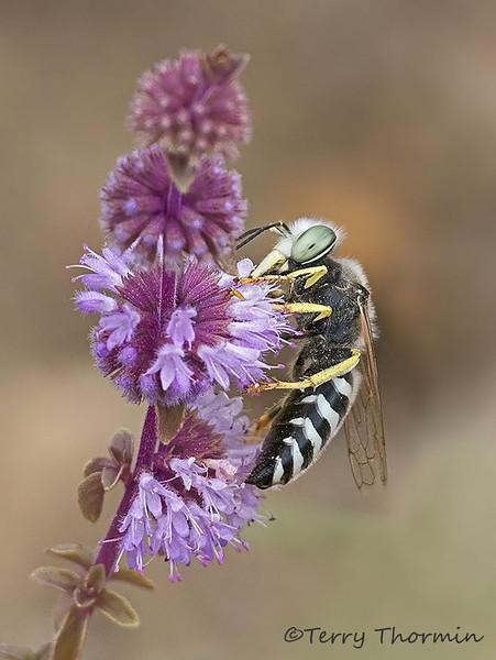 Sand Wasp, Bembex americana