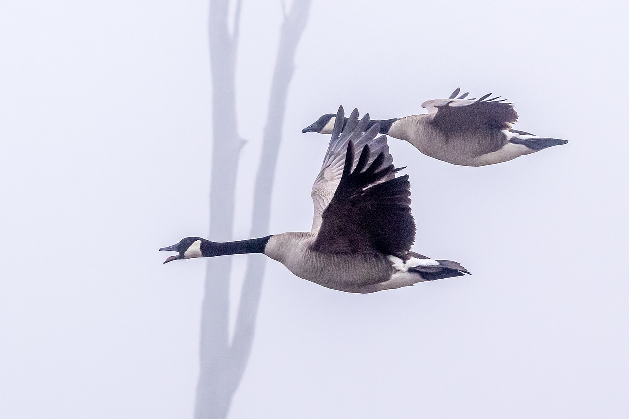 Canada Geese In The Fog
