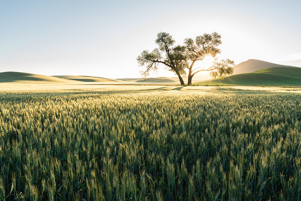 Sunrise on a lone tree in a sea of wheat in the Palouse region of Eastern Washington with Steptoe Butte in arrears.