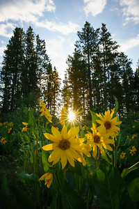 Sun's rays and sunflowers over the 4th of July weekend, Crested Butte, CO