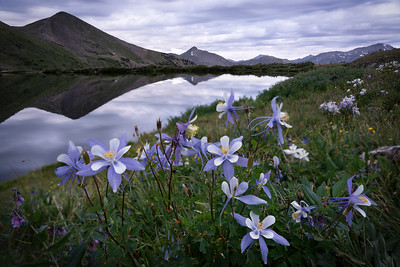 Morning columbine over Ptarmigan Lake.  Chaffee County, CO