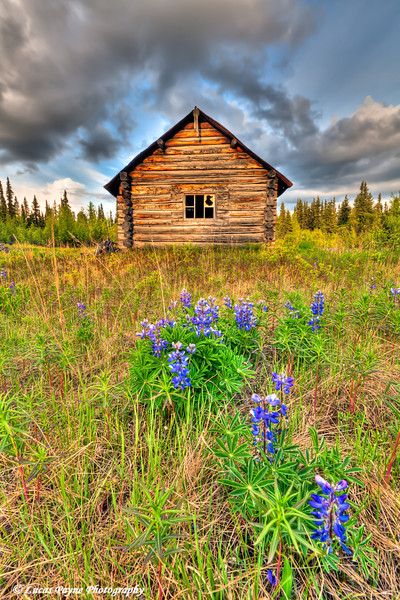 Abandoned log cabin with Lupine in the foreground along the Nabesna Road in Wrangell-St. Elias National Park and Preserve<br /> June 11, 2011<br /> HDR