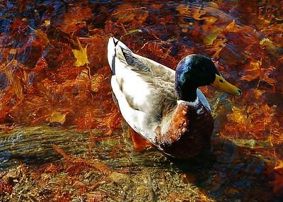 Duck in San Antonio