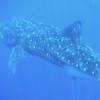 Jim-Allen-Whale-Shark