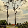 Roy G Gum Trees 1before