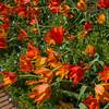 winarske-TulipsAfterRain-Filoli